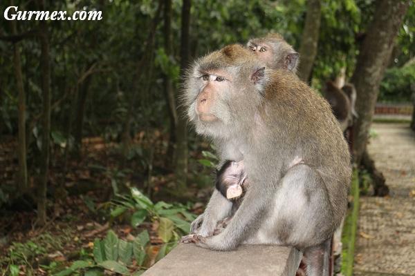 bali-adasi-maymun