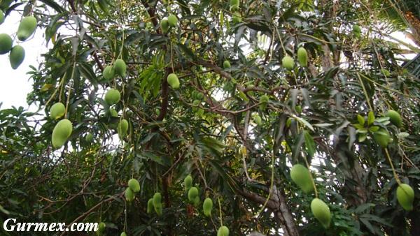 Kamboçya ne yenir mango ağacı
