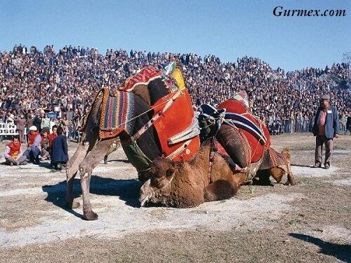 Aydın gezilecek yerler deve güreşleri