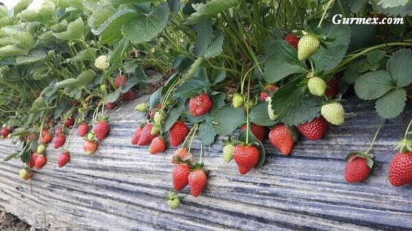 Aydın gezilecek yerler,sultanhisar-aydin-ne-alinir-sebze-meyve-cilek-organik-tarim